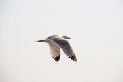 Seagull 13 stock photography