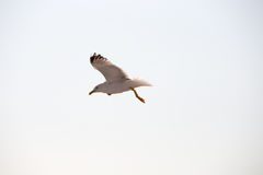 Seagull. Flying in Thassos Greece Royalty Free Stock Photo