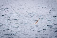 Seagull flying through the sky. Seagull flying to fish over a blue sea Royalty Free Stock Photography