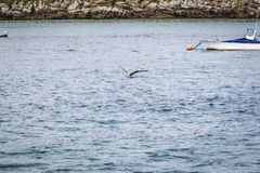 Seagull flying through the sky. Seagull flying to fish over a blue sea Stock Images