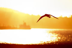 Seagull flying to sunset Stock Image