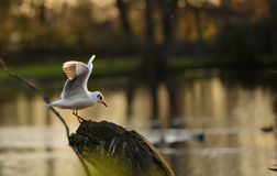Seagull flying to a tree. Seagulls flying to a tree, with beautiful wings under the sun light Royalty Free Stock Photography