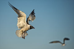 Seagull flying to you Royalty Free Stock Images