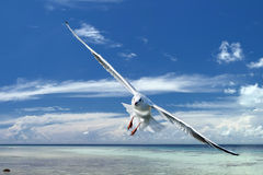 Seagull flying to you in the blue sky Royalty Free Stock Image