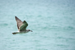 Seagull flying to you Stock Photo