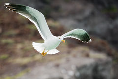 Seagull flying to you Stock Image