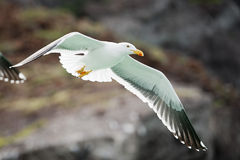 Seagull flying to you Stock Photography