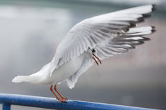 Seagull flying to you Stock Images
