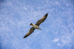 Seagull. A seagull is flying under altocumulus cloud Stock Image