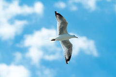 Seagull flying  under blue sky. Sea gull flying high under bright blue sky Stock Photography