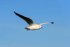 Seagull flying under blue sly Stock Photos
