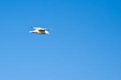 Seagull flying under blue sly. Seascape, ornithology Stock Photos