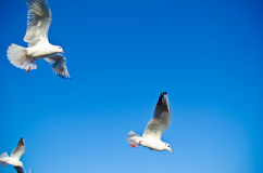 Seagull flying under blue sly. Seascape, ornithology Royalty Free Stock Photography