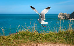 Seagull Flying Up. From a rocky beach towards the sea Stock Photo