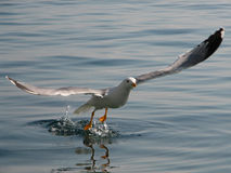 Seagull flying up 3# Royalty Free Stock Photography
