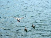 Seagull flying Stock Photos