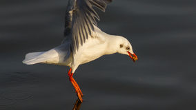 Seagull flying Stock Photography