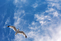 Seagull Flying In Yhe Sky Stock Photography