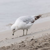 Seagull on foggy beach Stock Images