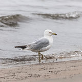 Seagull on foggy beach Royalty Free Stock Image