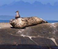 seagull foka zdjęcie royalty free