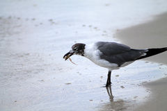 Seagull with food in beak Royalty Free Stock Images