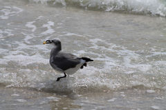 Seagull with food in beak Stock Images