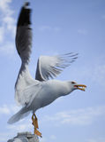 Seagull with food in beak (pufulet) prepared to fly on the ocean. Sky fundal. Stock Photos