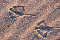 Seagull Footprints in Oregon Royalty Free Stock Image