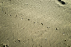 Seagull footprints on the sand Stock Photography