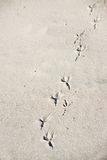 Seagull footprints in the shore Royalty Free Stock Images