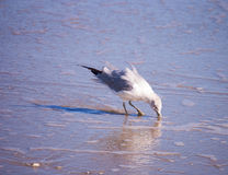 Seagull Foraging Na plaży obrazy royalty free