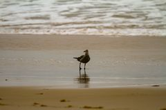 Seagull foraging in shallow water on a sandy beach stock images