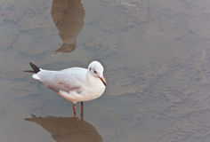 Seagull on the foreshore area Stock Photography