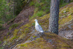 Seagull in the forest. Seagull sitting on a rock in the forest Royalty Free Stock Photos