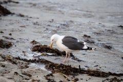 Seagull Forraging Στοκ Εικόνα