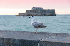 Seagull fortu frontowy obywatel, święty Malo, Francja obrazy royalty free