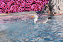 Seagull in fountain Royalty Free Stock Photography