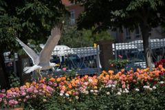 seagull by the fountain in a rose garden stock photo