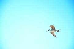 Seagull från Ryssland Fotografering för Bildbyråer