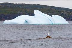 Seagull framme av ett isberg Royaltyfri Foto
