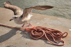 Seagull Freedom Royalty Free Stock Photo