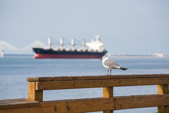 Seagull with Freighter in Background Stock Images