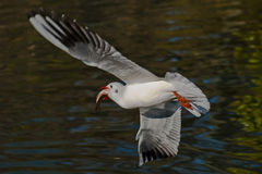Seagull with fresh fish Stock Images