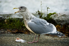 Seagull with Fresh Fish. Seagull with fresh flounder fish caught on the ground with the water beyond Royalty Free Stock Photos