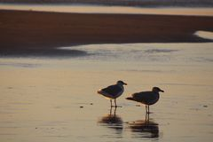 Seagull Friends at Low Tide Royalty Free Stock Images