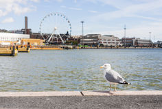 Seagull in front of cityscape of Helsinki, Finland Royalty Free Stock Photo