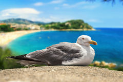 The seagull in front of the coastline. Stock Photos