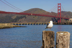 Seagull in front of the Golden Gate Bridge Stock Photography