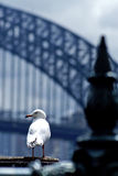 A seagull in front of Harbour bridge Stock Photos